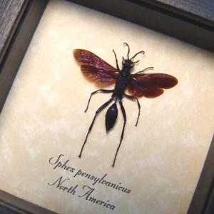 Sphex pensylvanicus Digger Wasp Purple