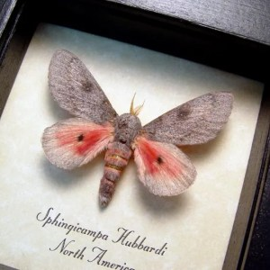 Sphingicampa hubbardi Hubbard's silk Moth