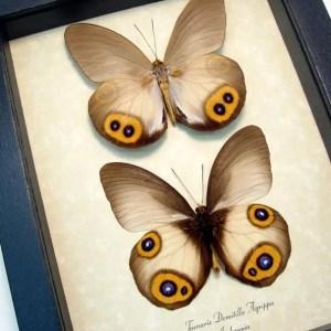 Taenaris Domitilla Agrippa Pair Silky Owl