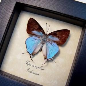 Tajuria cyrillus Male Blue Swallowtail