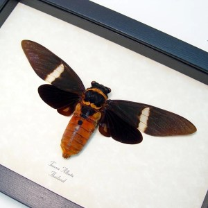 Tosena albata Giant Black Cicada