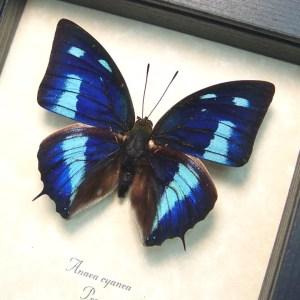 Anaea cyanea Blue Sky Butterfly