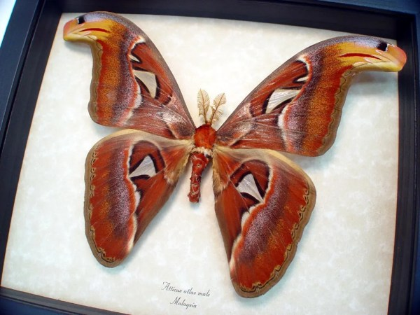 ooak Attacus Atlas Male Giant Moth Snake Head