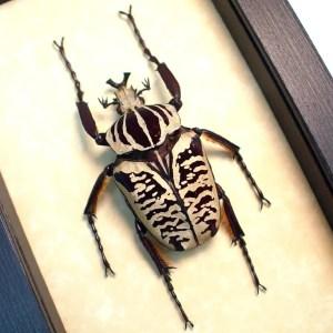Goliathus albosignatus kirkianus 63mm Scarab Beetle ooak