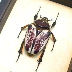 Goliathus goliatus albatus Female Goliathus Beetle 80mm ooak