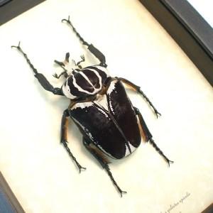 Goliathus goliatus apicalis Goliathus Beetle 90mm ooak
