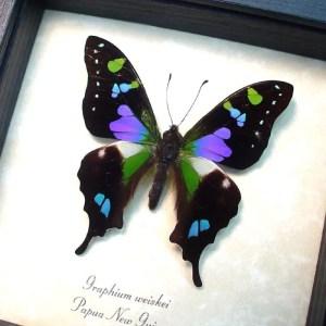 Purple Spotted Swallowtail Framed Butterfly OOAK
