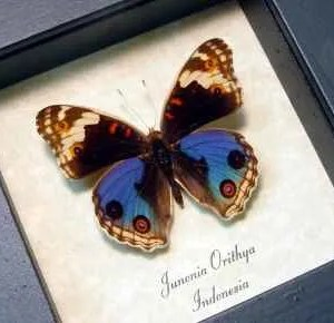 Junonia orithya Blue Pansy Butterfly