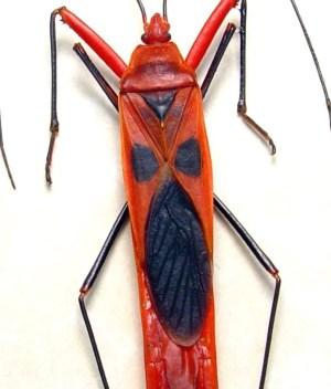 Lohita grandis The scream Creepy Red Screaming Face Bug