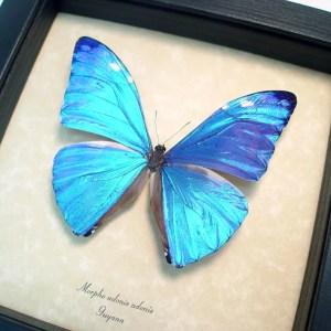 ooak Morpho adonis Blue Morpho Butterfly