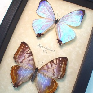 ooak Morpho sulkowski Pair Mother Of Pearl Morpho Butterflies
