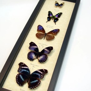 Purple Butterfly Collection Real Framed Butterflies ooak