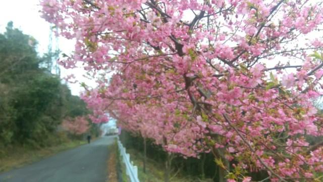 河津桜 1