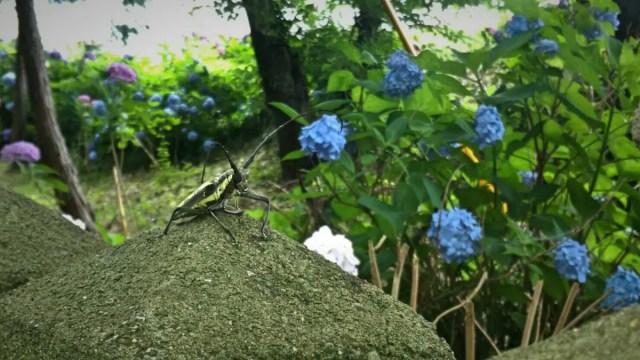 カミキリムシと紫陽花