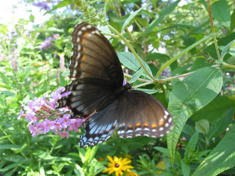 Red spotted purples and hibernaculums butterfly gardening - Best compost for flower pots solutions within reach ...