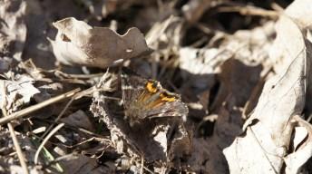 Orange Underwing (Archiearis parthenias)