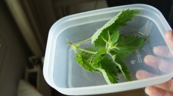Nettle in a box hosting caterpillars of the Painted Lady