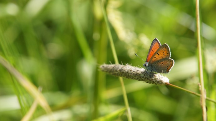 Purple-edged Copper (male)