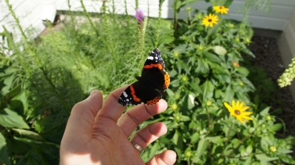 Red Admiral being released