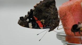 Red Admiral at the butterfly bar
