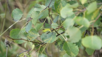 Locating a Puss Moth Caterpillar on aspen