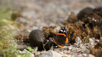 Red Admiral having a snack