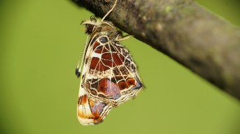 Freshly hatched Map butterfly