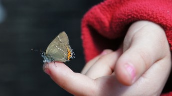 White-letter Hairstreak being reviewed by Sienna