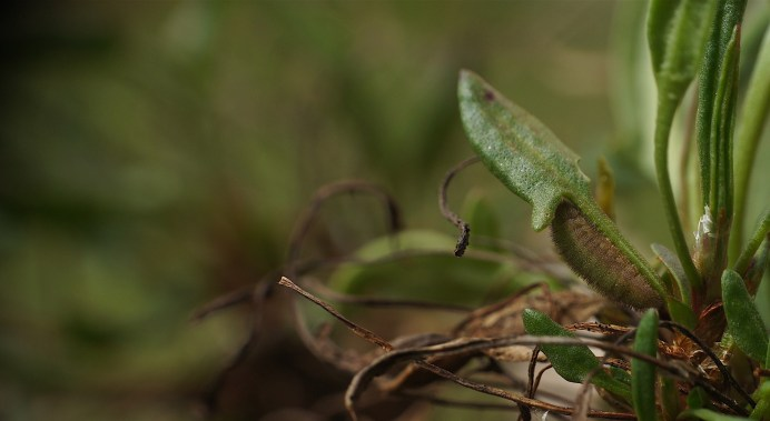 Caterpillar of the Small Copper