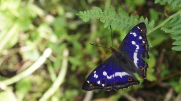 Purple emperor, male
