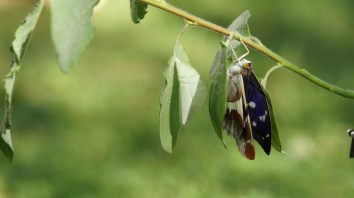 Purple emperor drying its wings