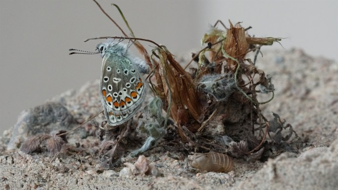 Female Common Blue after hatching