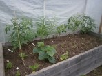 Inside the underused small greenhouse - tomato (5), cucumber (1), celery (4), carrots and 2 random daisies.