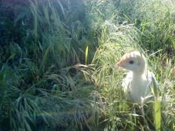 A Turkey Poult