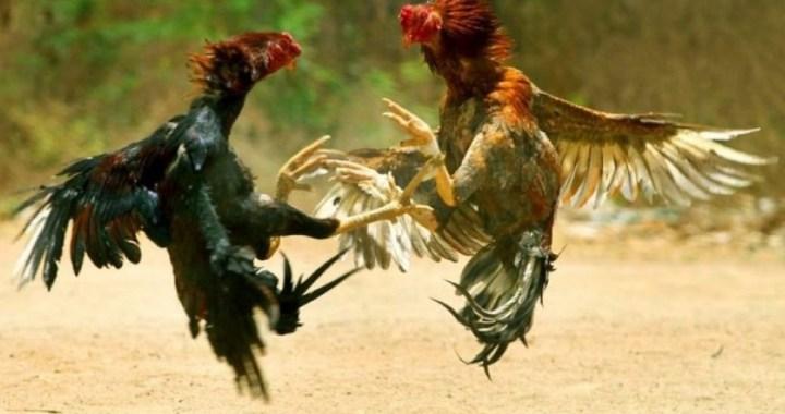 Buscan a los organizadores de una riña de gallos: ya hay 30 identificados