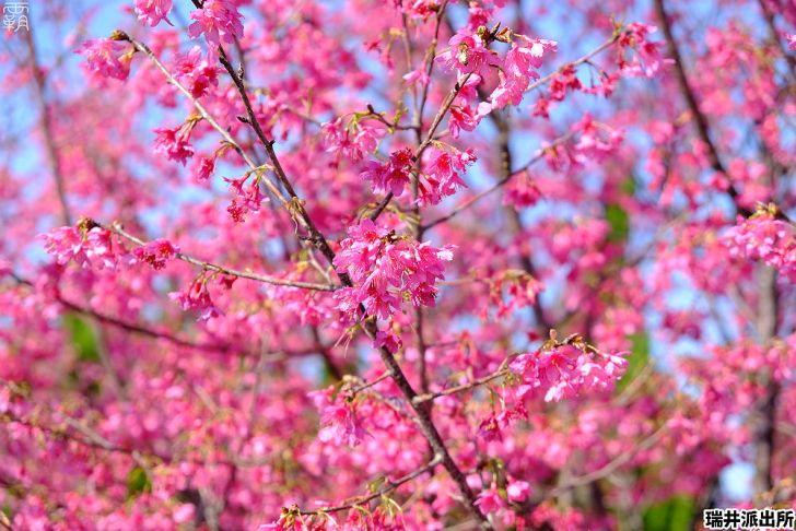 20210215000905 20 - 台中這間派出所旁有櫻花盛開中,瑞井派出所賞櫻秘境,櫻花好拍好入鏡~