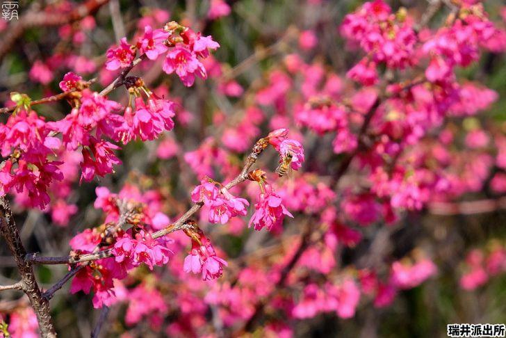 20210215000907 89 - 台中這間派出所旁有櫻花盛開中,瑞井派出所賞櫻秘境,櫻花好拍好入鏡~