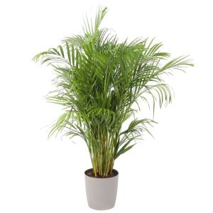 fengshui-arecapalm