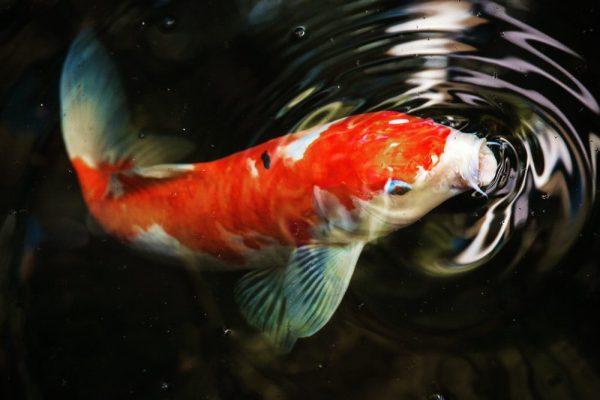 fengshui-fish