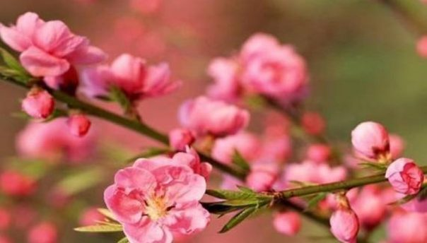 Feng Shui Peach Blossom of Luck