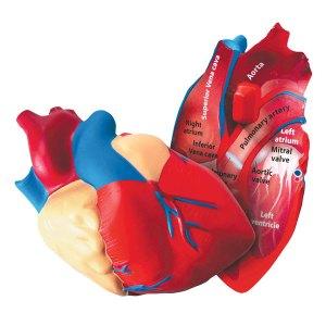 Learning Resources - Cross Section Foam human Heart Model - 130mm ...