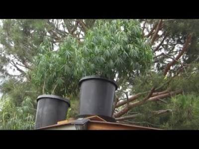 Watering Large Marijuana Plants – Bulk Nutrients and Suppliment Mixing