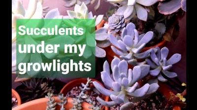 #38 My succulents under grow lights PART 1