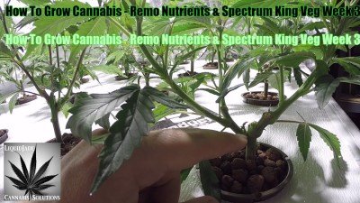 How To Grow Cannabis   Remo Nutrients & Spectrum King Veg Week 3