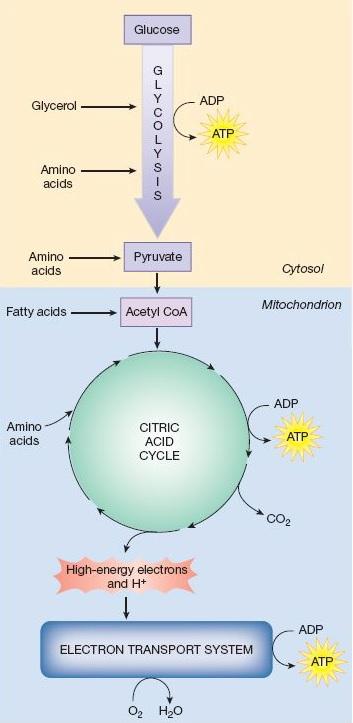 Wim Hof Method ATP Production Process