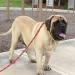 Mastiff Puppies For Sale – Top Questions To Ask A Breeder When Buying A Puppy