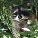 夜の赤坂に突如アライグマが出没し大捕り物!赤坂御用地に生息か?木にぶら下がったり、扉によじ登って抵抗するも御用。