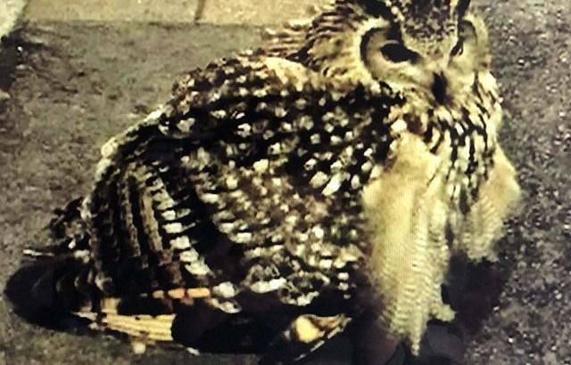 杉並区に出没したのはベンガルワシミミズク!?鳥獣保護法で勝手に保護できないのでご注意を。