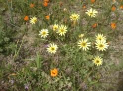 Namaqualand - daisies