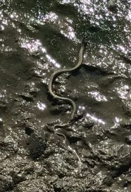 Buzymum - A small snake heading for the water